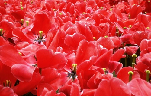 le zate cveti