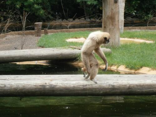 Primat. Smešen. Še najbolj peš.