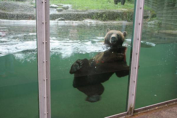 Medved je rad v vodi