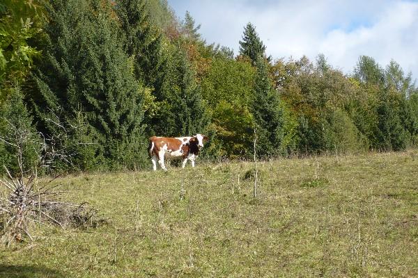 Krava na travnikih Davovca