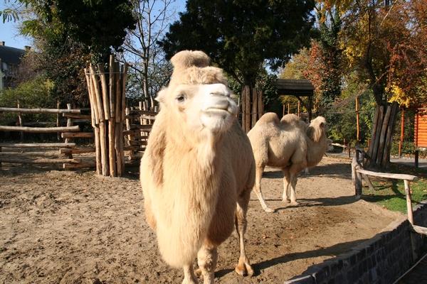 Dvogrbe kamele