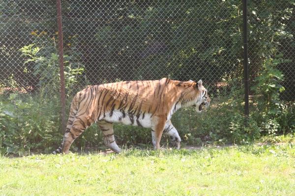 V ogradi s tigri