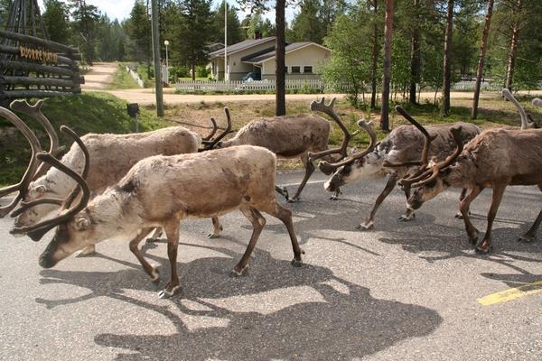 Čreda severnih jelenov