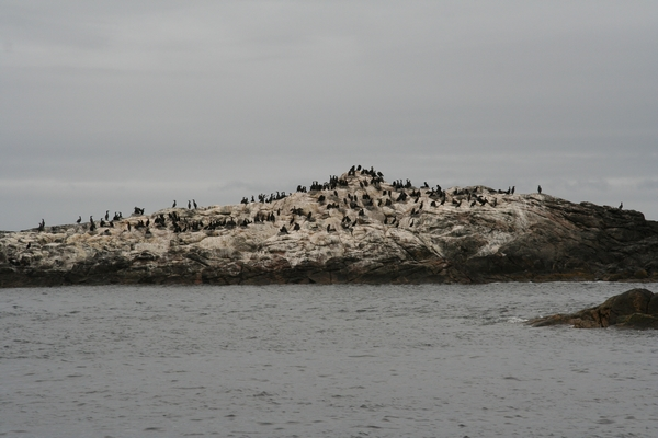 Jata črnih kormoranov