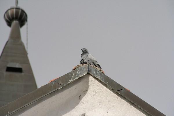 Golob na cerkveni strehi
