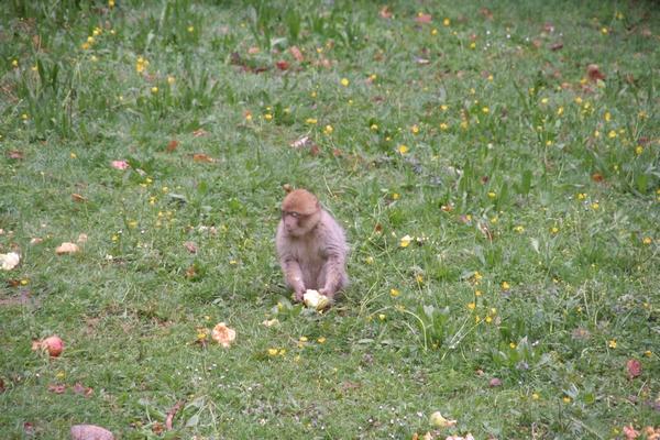 Opicam niso zanimive samo kokice