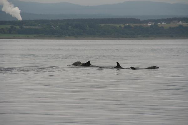 Skupina petih delfinov