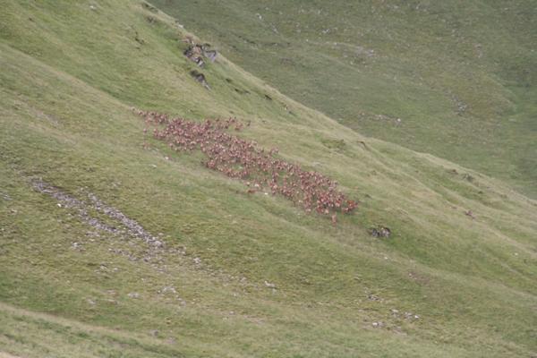 Čreda jelenov