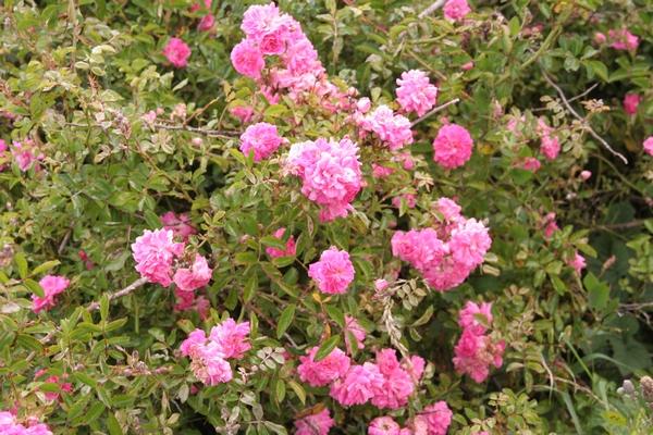 Divje vrtnice