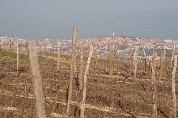 Vinogradi nad Izolo