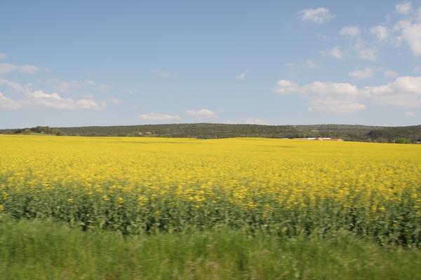Polja oljne repice