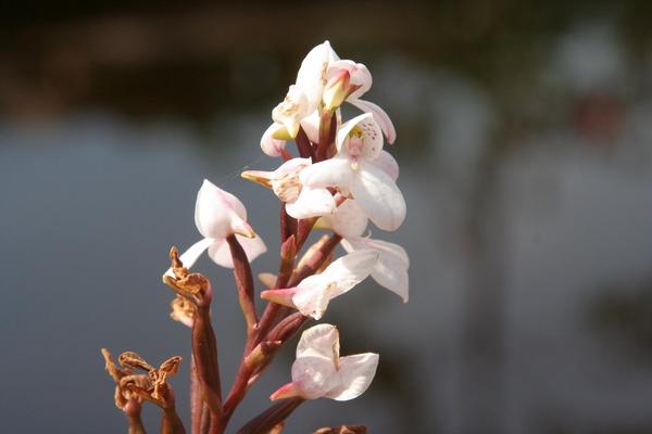 Afriške orhideje