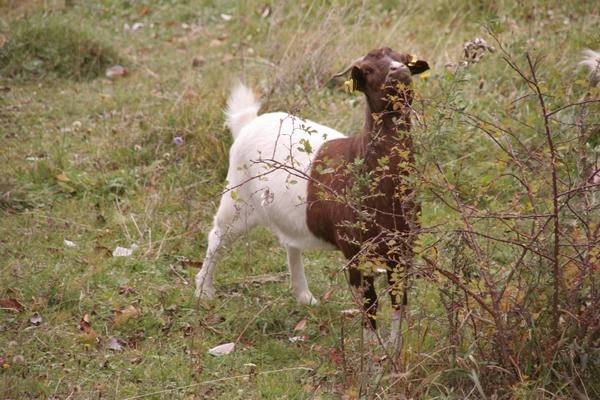 Pisana koza in šipek