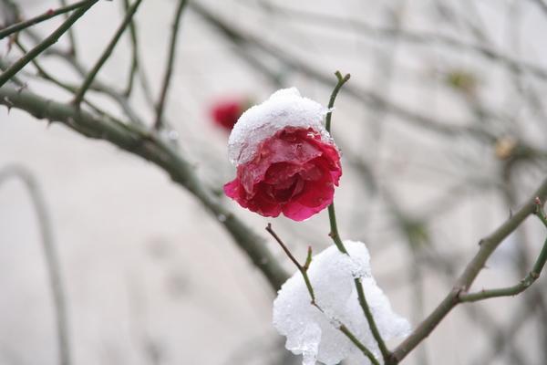 Zmrznjeni cvet