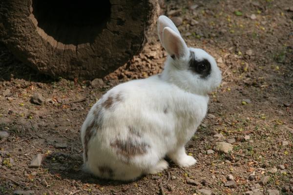 Zajček, ki kaj videl prašičke?