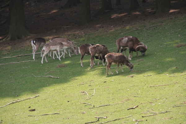 Jelenjad in mufloni