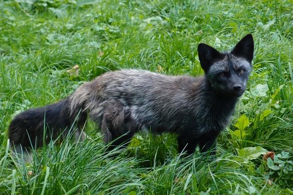 Črna lisica
